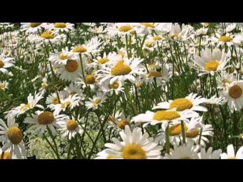 Фристайл - Белые ромашки