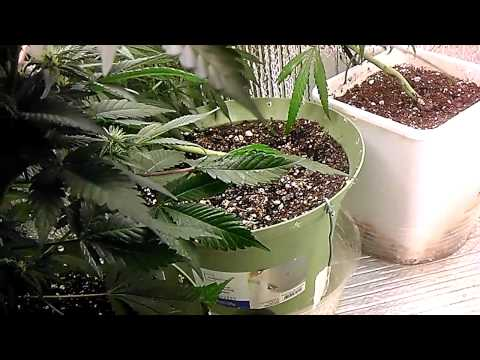 How to grow cannabis - grow lights . hps vs cfl