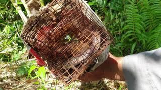 Cậu cháu thăm bẫy rắn lạc vào rừng cam. Hái trộm cam luôn   Săn bắt SÓC TRĂNG  