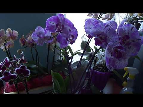 Что такое миди? как отличить? Отличается ли размер цветка?