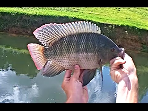 Big Tilapia At Secret Hole