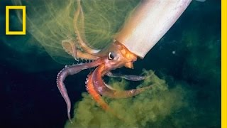 National Geographic Live! - The Amazing Squid