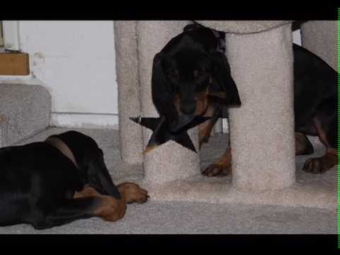 black and tan hound puppies