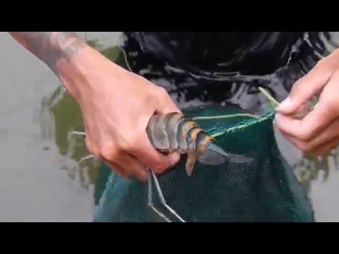 นักล่ากุ้งแม่น้ำ River Shrimp Hunter
