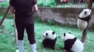 Download Lagu Панды мешают уборщице. Panda helps clean up. Gratis STAFABAND