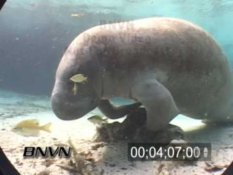 Manatees at the Three Sisters Spring in Crystal River Florida. March 2007 Part 3 of 5