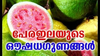 പേരഇലയുടെ ഔഷധഗുണങ്ങൾ # Health Tips Malayalam # Malayalam Health Tips Videos # Health And Fitness