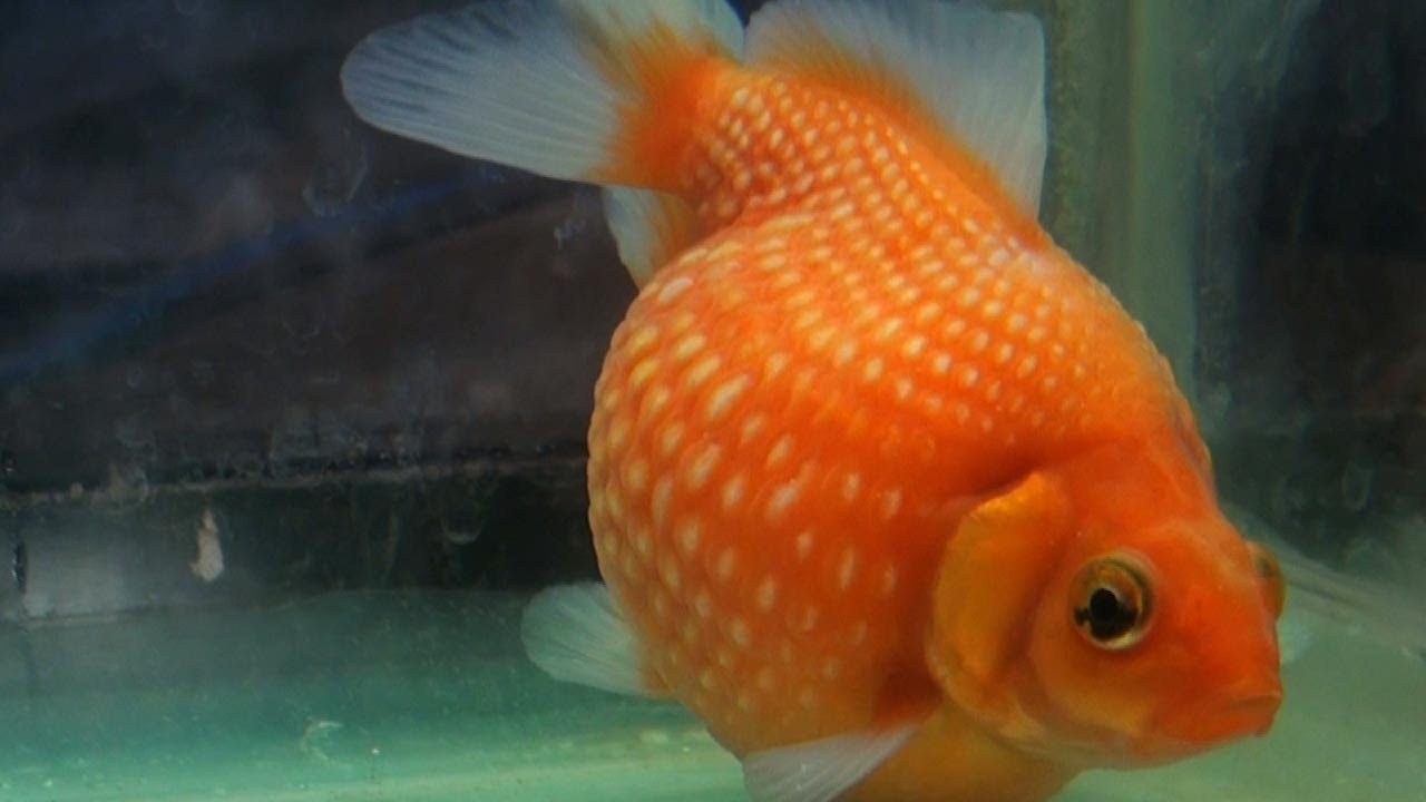 Pearlscale goldfish - photo#17