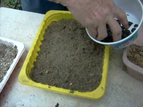 belladonna lily planting instructions