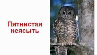 Птицы совы
