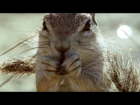 Ground Squirrels tease a Cape Cobra - Wild Africa - BBC Video