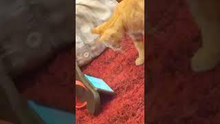 Gato assistindo YouTube no celular - cat watching YouTube on mobile
