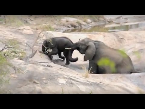 Mother Elephant Saves Baby From Drowning