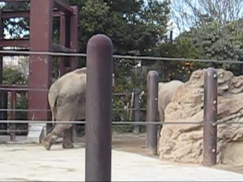 上野動物園アジアゾウ_ウタイの鳴き声×3