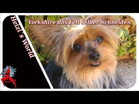 Yorkshire das Fell selber Schneiden - Tiere | Die Heizerbraut 4K