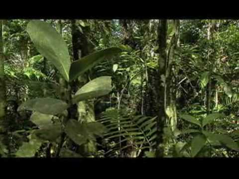 Chocolate to Save Forests? -  cocoa consevation program