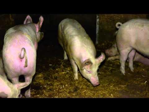 Schweizer Schweine-Report 2014: Krankheiten