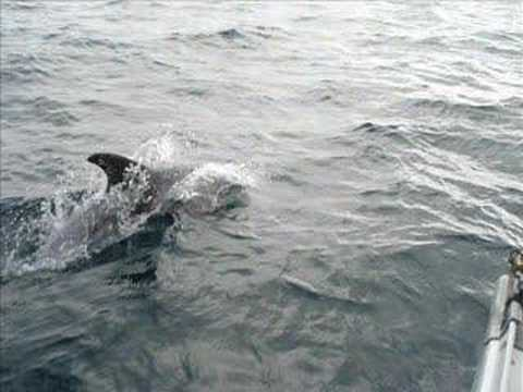 Dolphins in Lyme Bay UK Video