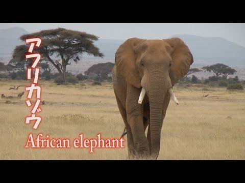 アフリカゾウ African elephant アフリカ ケニア サファリ Kenya Safari
