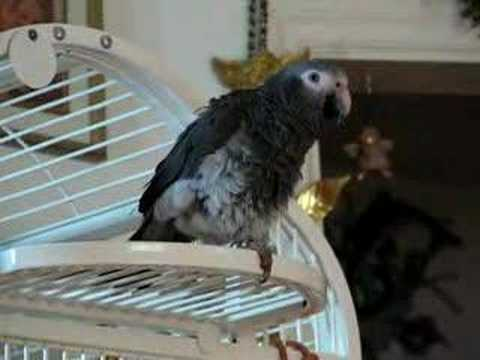 Singing in the Rain whistle dance African Grey Style