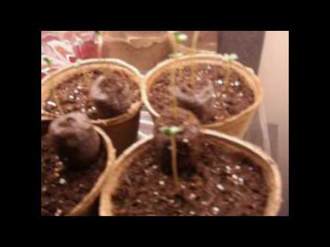 Growing Weed Bubbleponics &amp  Soil   4 11 2010