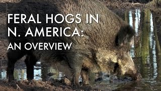 Feral Hogs in North America: An Overview