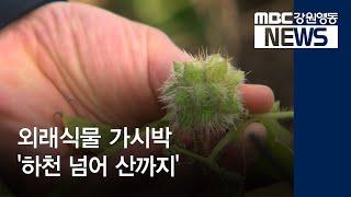 R)외래식물 가시박 '하천 넘어 산까지'