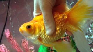 Goldfish with Swimbladder disease and dropsy