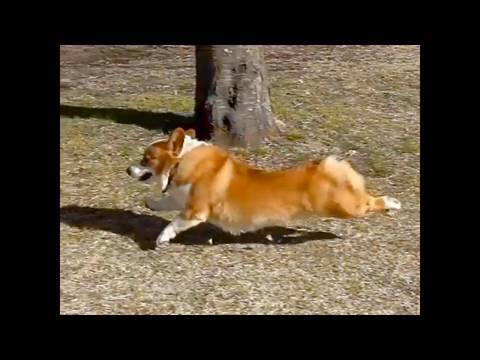 (HD) Run 20100206 Goro@Welsh corgi