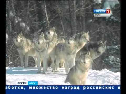 волки в Тарском районе