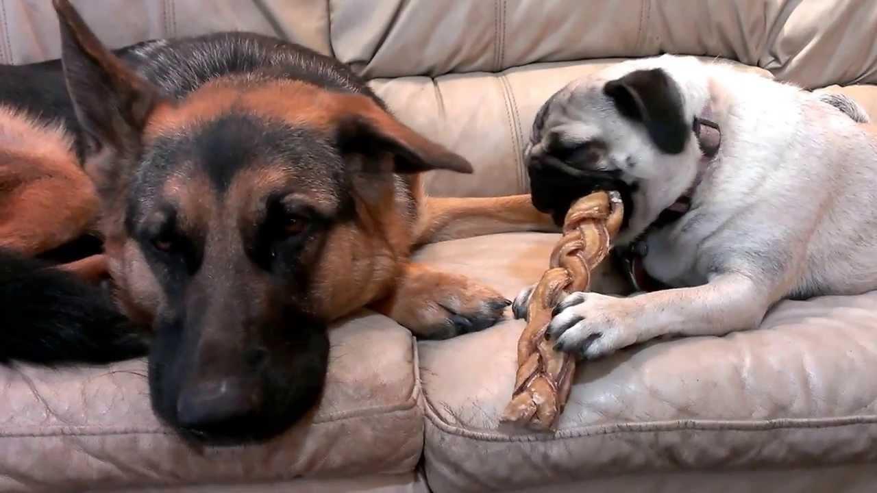 german shepherd pug with bully stick youtube. Black Bedroom Furniture Sets. Home Design Ideas