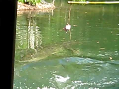 Crocodile eats chicken meat in Queensland Australia