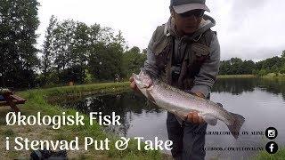 Økologiske fisk i Stenvad Put & Take Og Spotfiskeri når det er bedst.