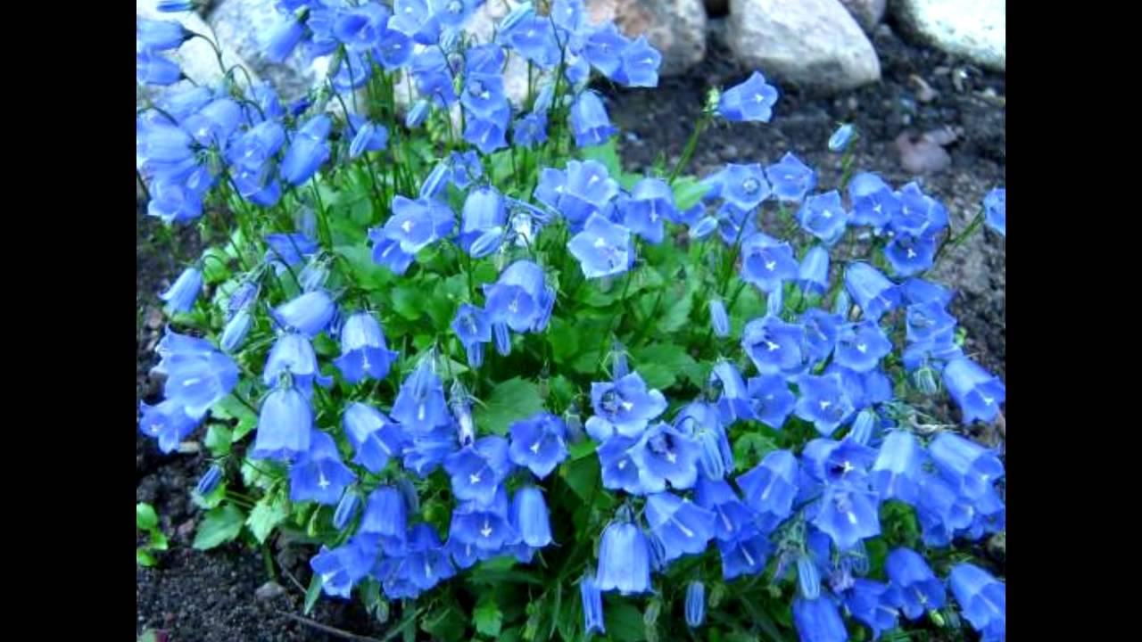 цветы колокольчики фото и описание
