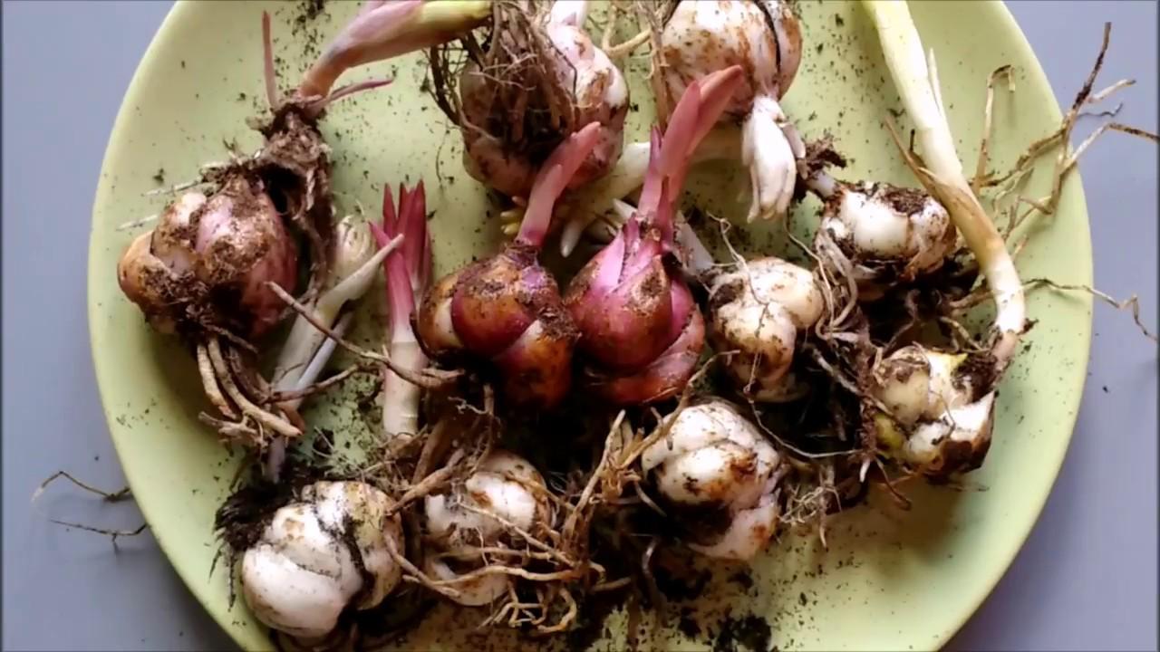 Когда сажать проросшие луковицы лилий 87