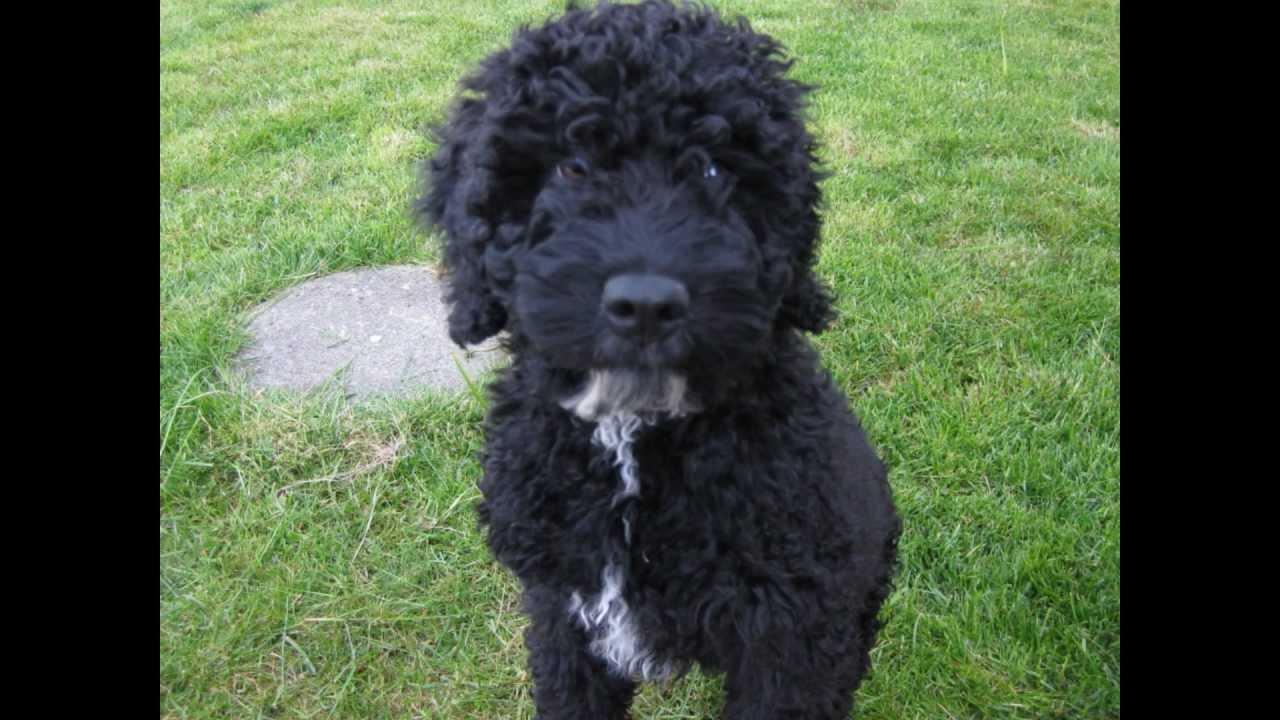 Black Russian Water Dog