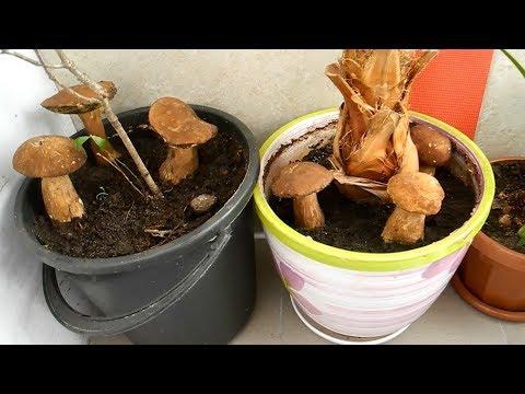 Как вырастить много белых грибов дома на подоконнике (результат)