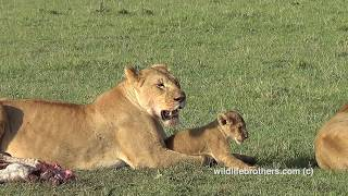 Lion cub playing with mum (very cute)