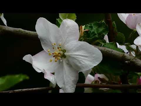 Äpfel (Malus domestica) Blüte. Virtueller Rundgang durch die schönsten Gärten. Frühjahr 2020