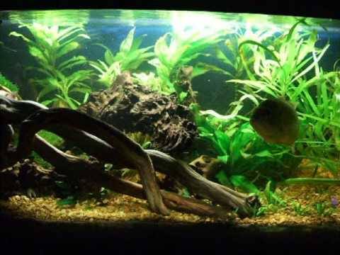 40 gallon freshwater native theme aquarium youtube for Bluegill fish tank