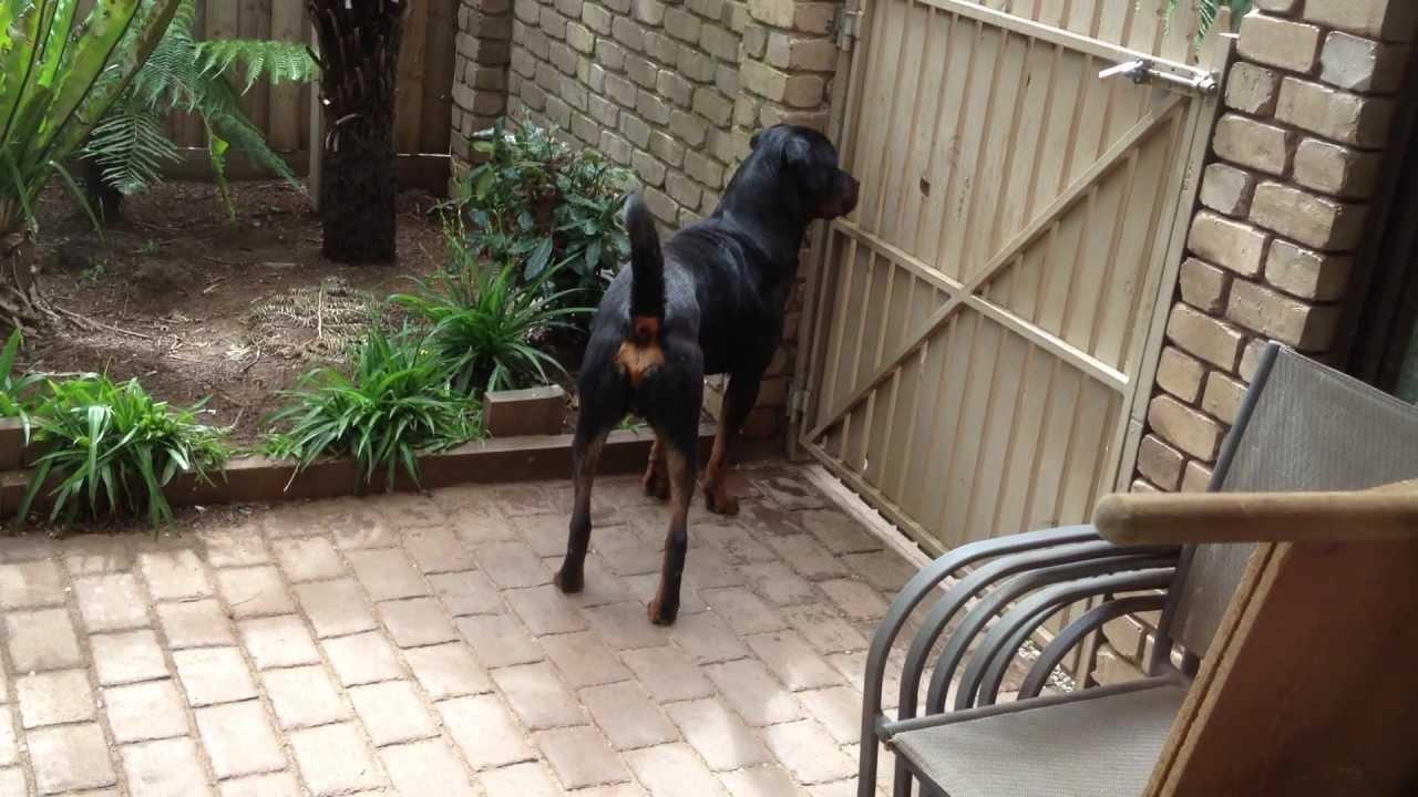 Rottweiler Guard Dog Alerted By A Street Car Alarm Youtube