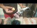 How to colour the feathers of pigeon with the help of potato || aloo sey kabutar par rang kaise lage