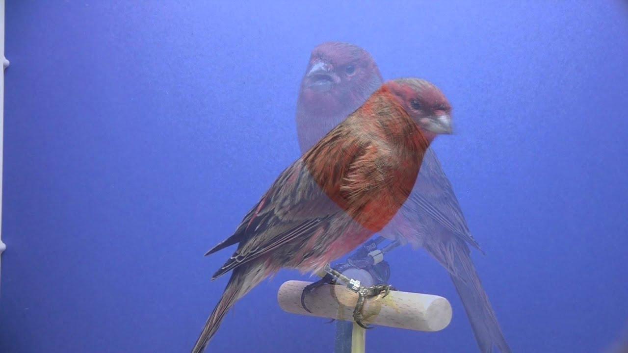 kanarien vogel