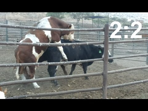 Fight for a cow - two bulls copulating with a cow (score 2:2)