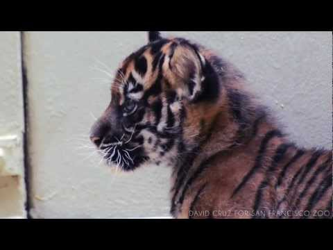 SF Zoo - Tiger Cub - Video Clip