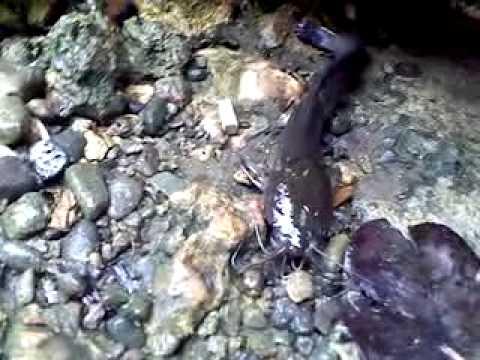 pantat fish