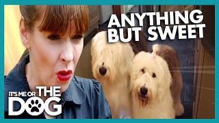 Bumble & Dougal English Sheepdogs