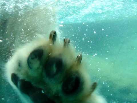 おやつの魚めがけて水中にダイブする白くまその4(ホッキョクグマ)