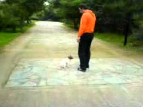 Εκπαίδευση σκύλων - Υπακοή χωρίς λουρί Jack Russell - k9training.gr