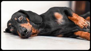 Don't trust cute dachshund eyes vol.2! Funny dog video!